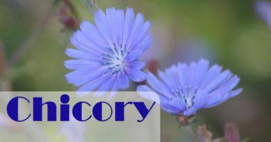 Chicory health benefits
