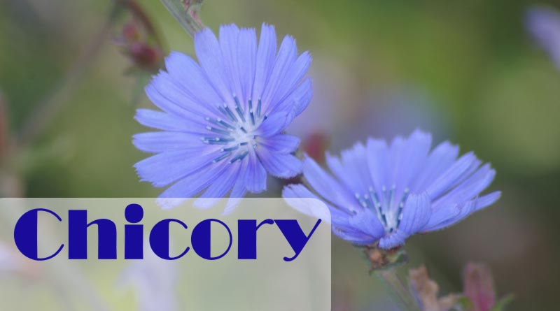Chicory health benefits