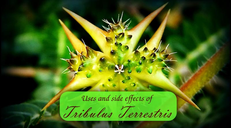 Tribulus Terrestris, Uses and Risks